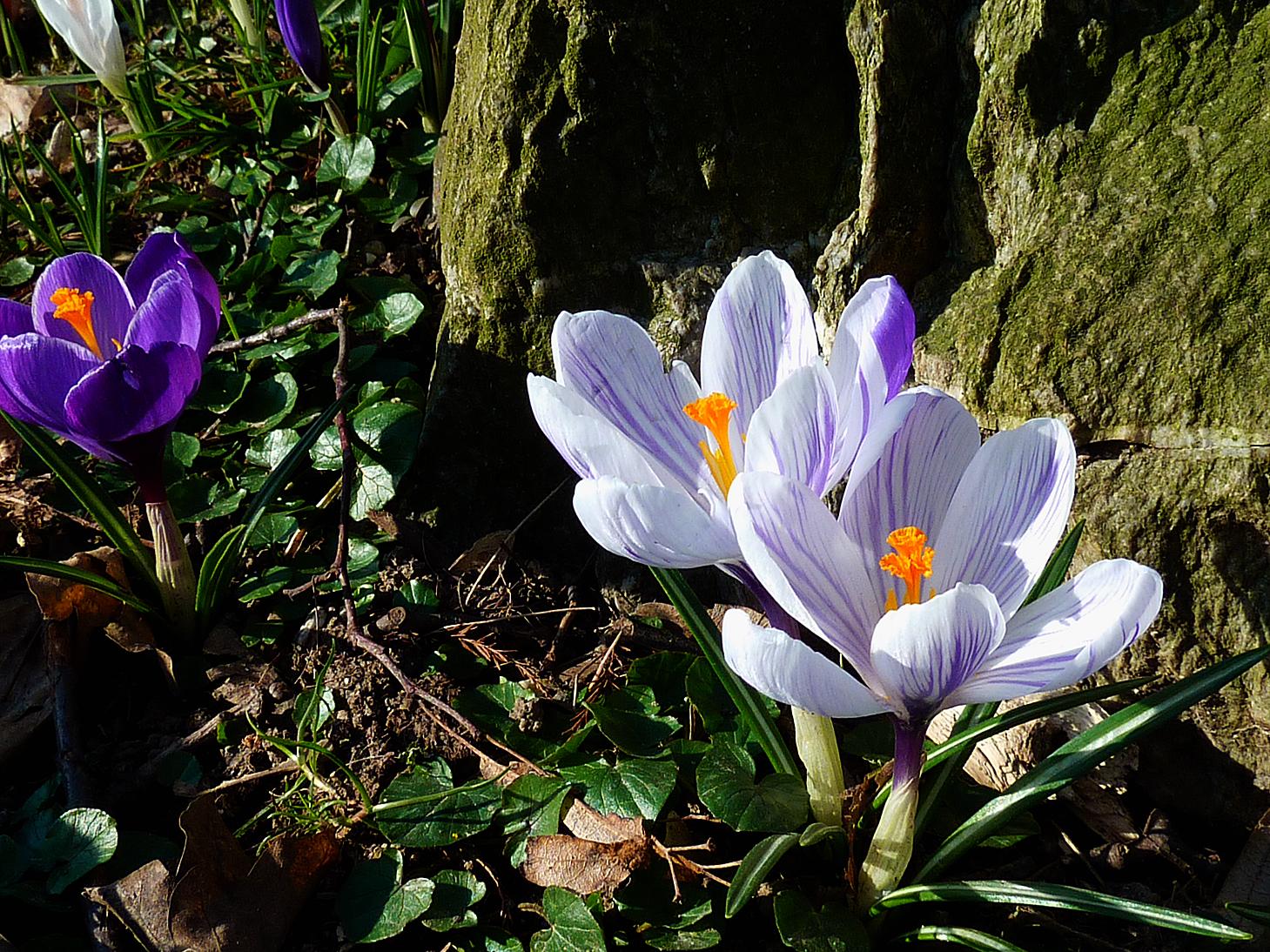 blühende weiße und violette Krokusse an einem Baumstamm